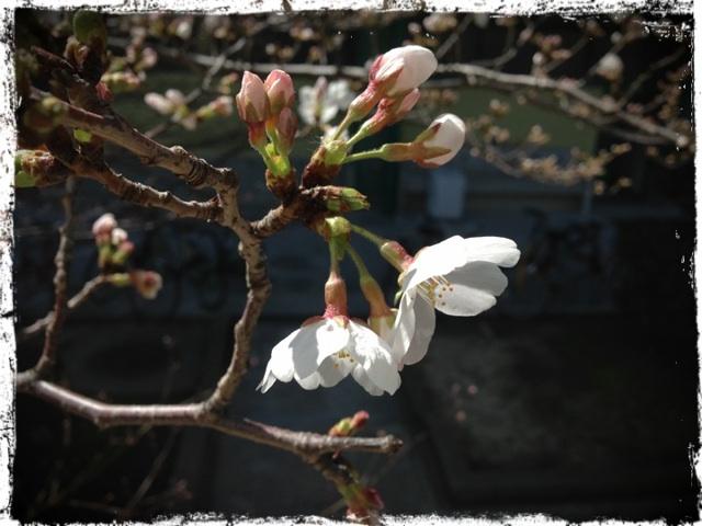 20130322 桜.png