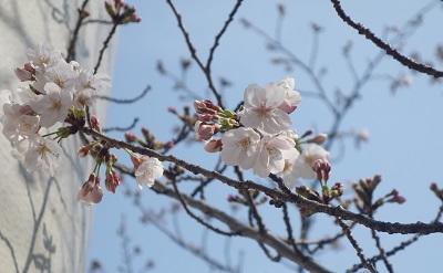 blog190327a2 チューリップと桜 DSC08444.JPG