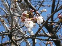 20150327桜2.jpg