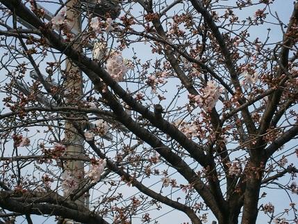 20160330桜1.jpg