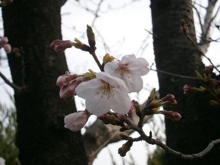 20160330桜2.jpg