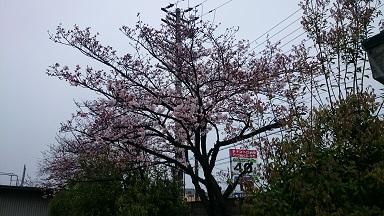 20160401桜.jpg