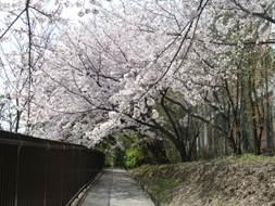 20180331桜3