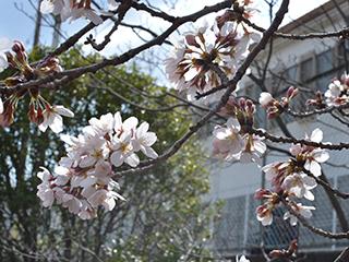 h280324-桜02.JPG