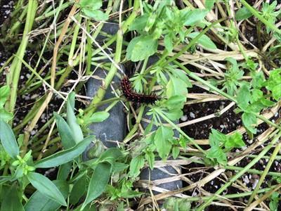 180610 ツマグロヒョウモンの幼虫.JPG